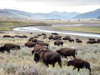 Bison Herd At Yellowstone NP