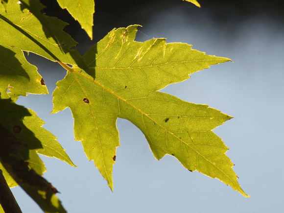 Silver Maple (Acer saccharium) Leaf