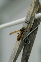 Paper Wasp Making Paper
