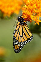 New Monarch Butterfly (Danaus plexippus)