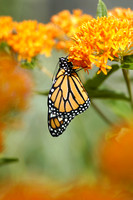 Monarch Butterfly on Butterfly Weed Flower